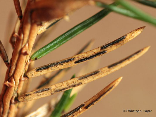 Fichtennadelritzenschorf (Lirula macrospora)