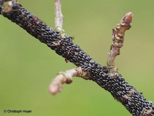 Eier von Rindenlaus (Lachnus roboris)