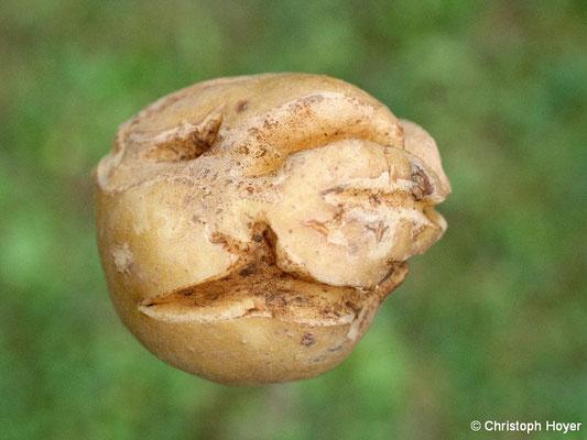 Schalenrissigkeit an Kartoffel