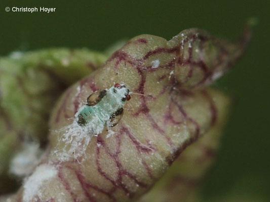 Eschenblattsauger (Psyllopsis fraxini) - Larve