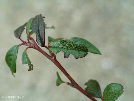 Dickmaulrüssler an Cotoneaster - Schadbild am Blatt