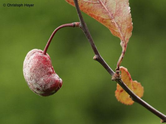 Blutpflaume (Prunus cerasifera 'Nigra') - Narren oder Taschenkrankheit (Taphrina pruni) Fruchtsymptome