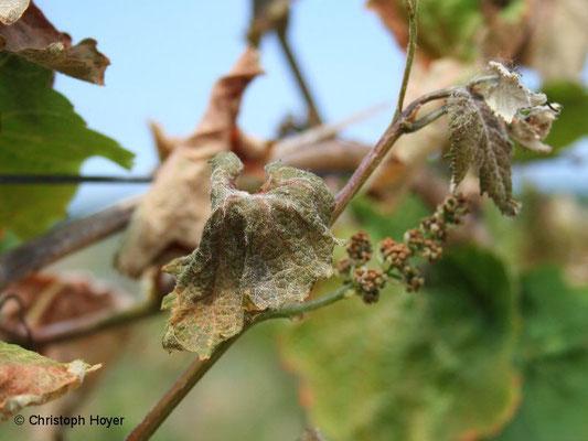 Frostschaden an Weinrebe