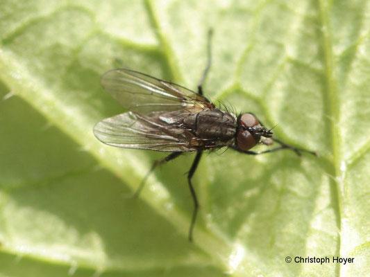 Kohlfliege (Delia brassicae)
