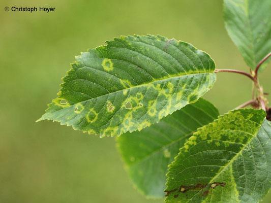 Prunus avium - Virussymptome (Chlorotischen Ringflecken-Virus)