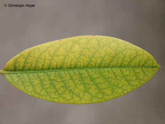 Chlorose an Rhododendron