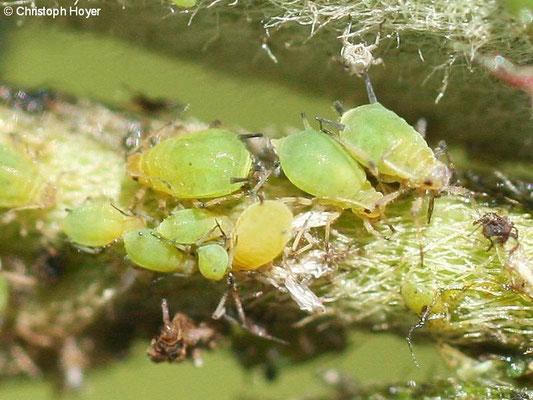 Blattläuse an Cotoneaster