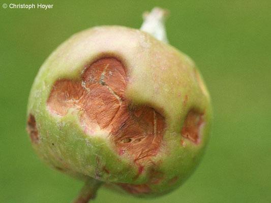 Apfel - Hagelschaden