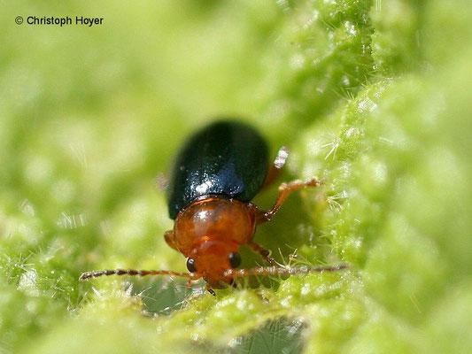 Malvenblattfloh - Käfer