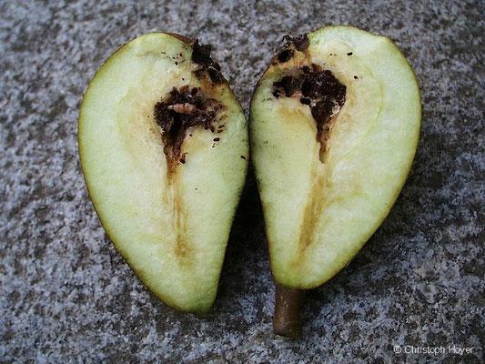 Apfelwickler - Schadbild an Birne