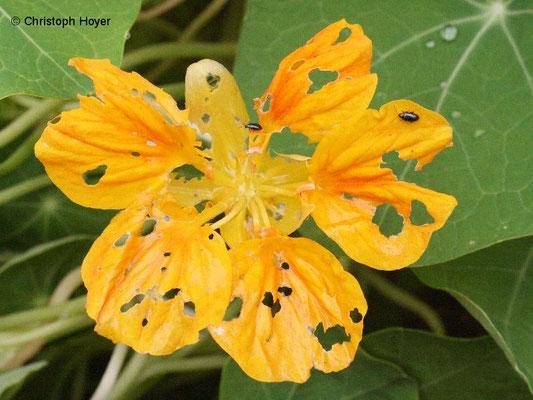 Rapsglanzkäfer an Kapuzinerkresse (Tropaeulum majus)