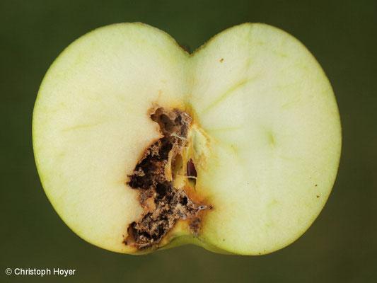 Apfelwickler 2. Generation an Apfel - Schadbild