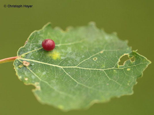 Gallmücke Harmandiola tremulae an Zitterpappel (Populus tremula) - Schadbild