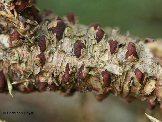 Wacholderblasenrost (Gymnosporangium sabinae)