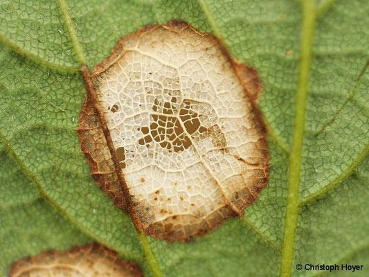 Ahornfenstergallmücke - Schadbild