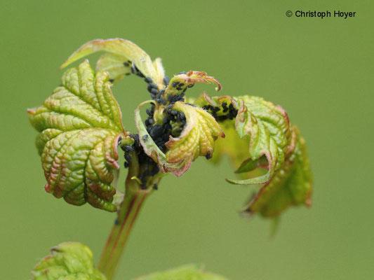 Blattläuse an Gemeinem Schneeball (Viburnum opulus)