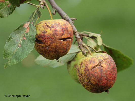 Apfelschorf an Frucht von 'Golden Delicious'