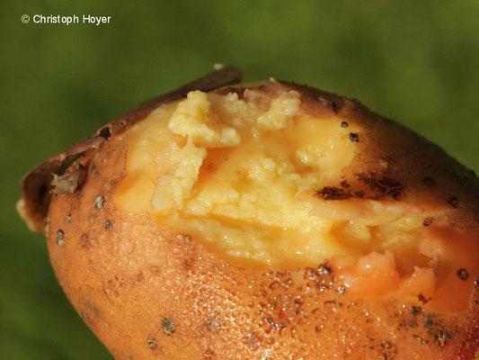 Kartoffel - bakterielle Knollennassfäule