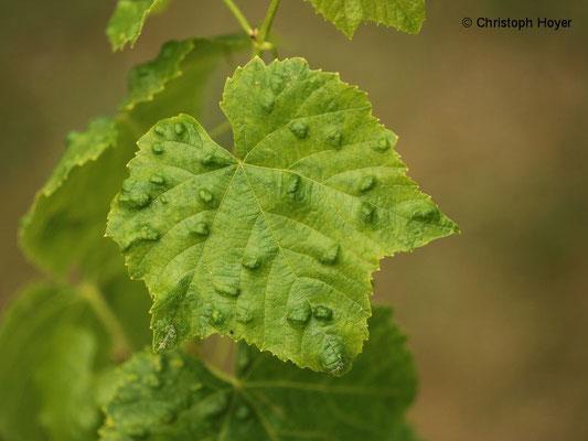 Filzgallen an Wein - Blattoberseite