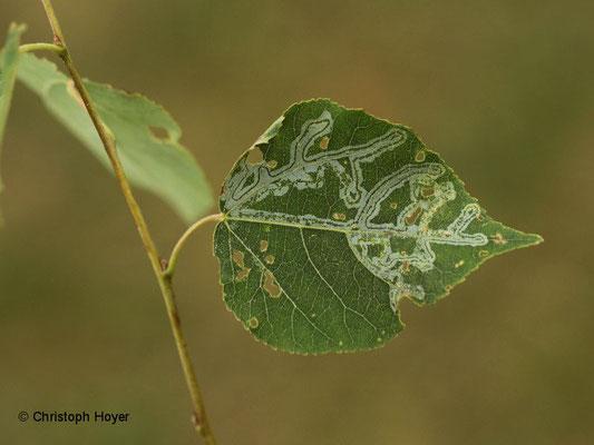 Miniermotte (Phyllocnistis labyrinthella) an Zitterpappel (Populus tremula) - Schadbild