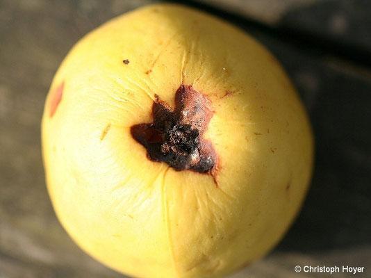 Kernhausfäule an Apfel