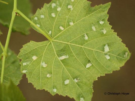 Filzgallen an Wein - Blattunterseite
