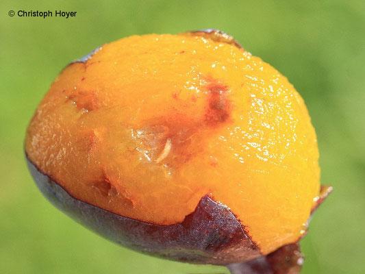 Zwetsche - Kirschessigfliege - Schadbild