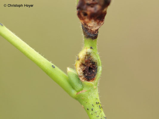 Knospengallmücke (Contarinia tiliarum) an Linde (Tilia spec.) - Schadbild