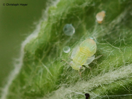 Frühjahrsapfelblattsauger Cacopsylla mali - Larve
