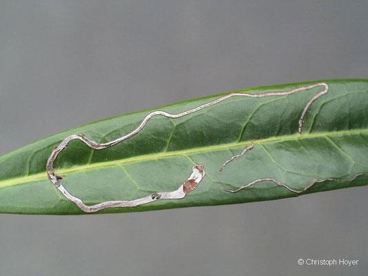 Schlangenminiermotte an Kirschlorbeer - Schadbild