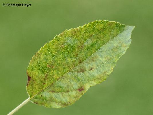 Apfelschorf - Schadbild an Blättern