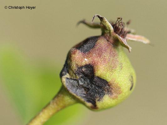 Birnengallmücke - Schadbild - verdickte Früchte sterben ab