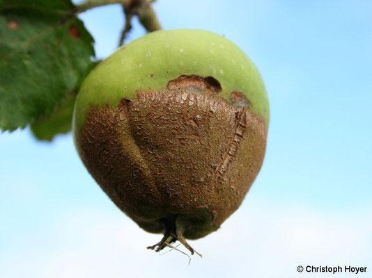 Apfel - Frostschaden an Frucht