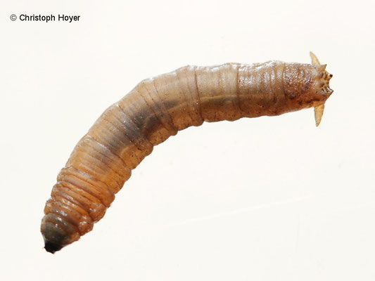 Schnakenlarve