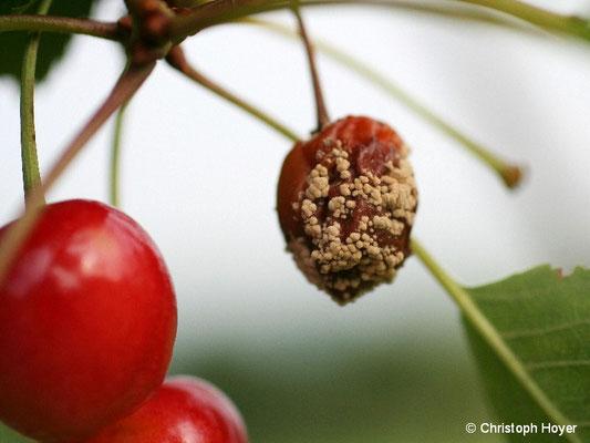 Süßkirsche Monilia-Fruchtfäule
