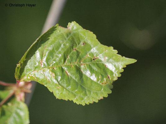 Gallmilben an Vogelkische (Prunus avium) - Schadbild