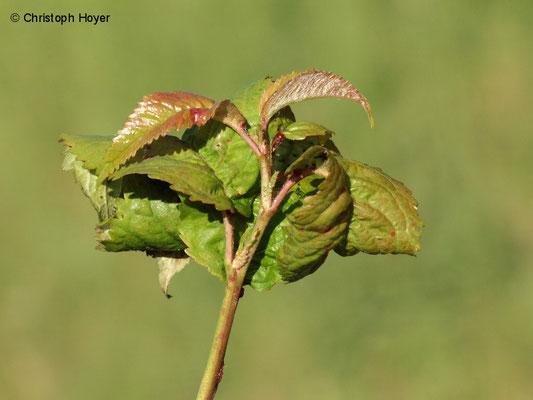 Schwarze Süßkirschenlaus (Mycus pruniavium) - Schadbild