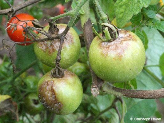 Kraut- und Braunfäule an Tomate - Schadbild an Früchten