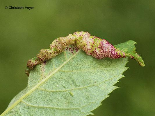 Eschenblattsauger (Psyllopsis fraxini) - Schadbild