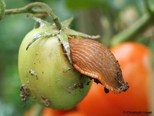Schneckenfraß an Tomatenfrucht