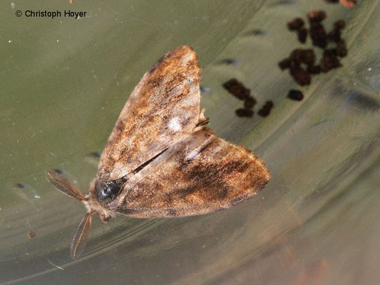 Schlehen-Bürstenspinner (Orgyia antiqua) - männlicher Falter