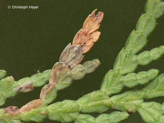 Miniermotte an Lebensbaum - Schadbild