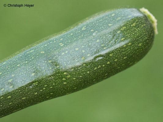 Virus an Zucchini - Fruchtsymptome