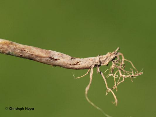 Bohnenfliege - Fraßschaden an Wurzel und Wurzelhals