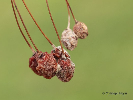 Monilia-Fruchtfäule an Kirsche - Fruchtmumie im Sommer