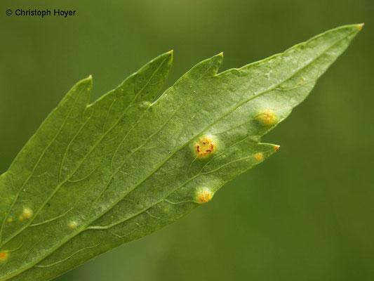 Rost (Puccinia bornmuelleri) an Liebstöckel (Levisticum officinale)