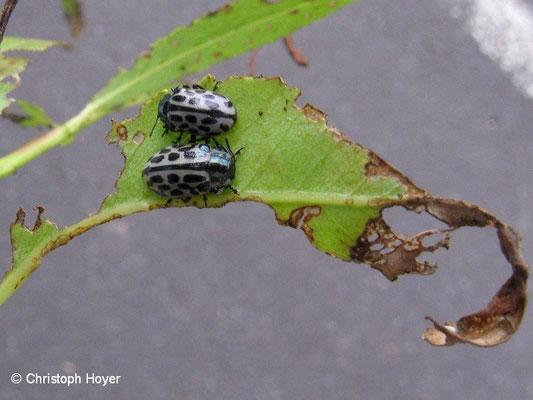 Gefleckter Weidenblattkäfer - Schadbild und Käfer