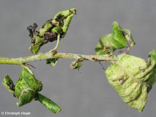 Mehlige Birnenblattlaus - Schadbild