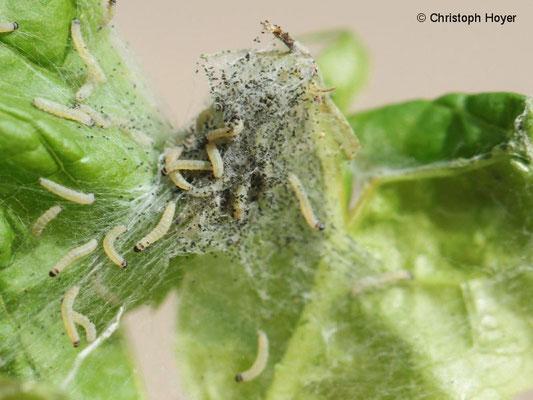 Gespinstmotten (Yponomeuta evonymellus) an Traubenkirsche (Prunus padus) - Larven