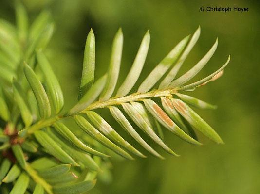 Eibe (Taxus) - Sonnenbrand
